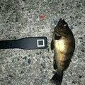 まつさんの兵庫県でのシロメバルの釣果写真