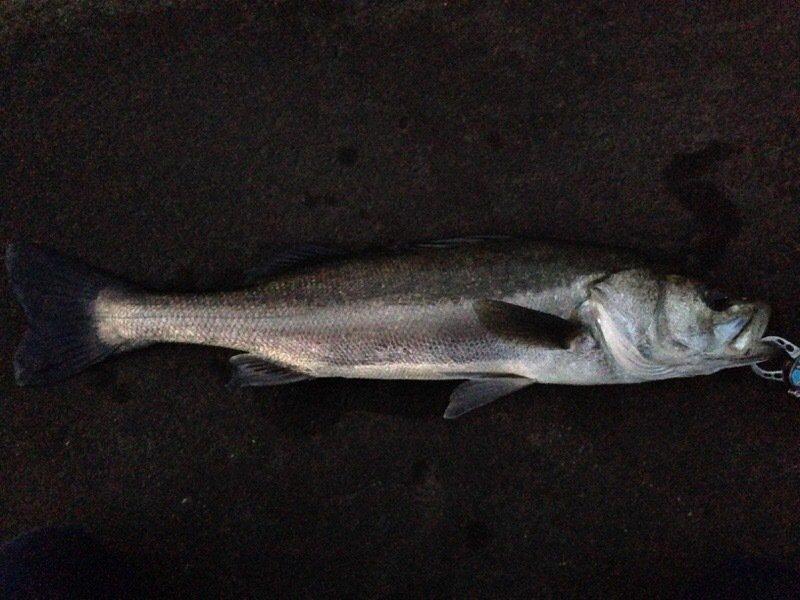ロックフィッシャーさんの投稿画像,写っている魚はスズキ