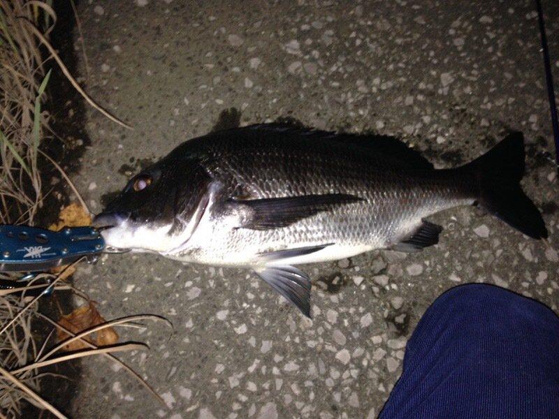 ロックフィッシャーさんの投稿画像,写っている魚はクロダイ