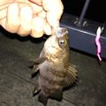 nyaanyaさんの兵庫県尼崎市でのメバルの釣果写真