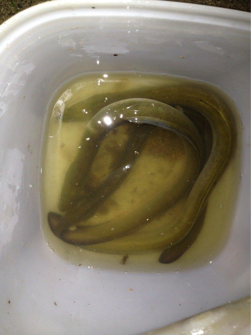 てんさんの投稿画像,写っている魚はウナギ