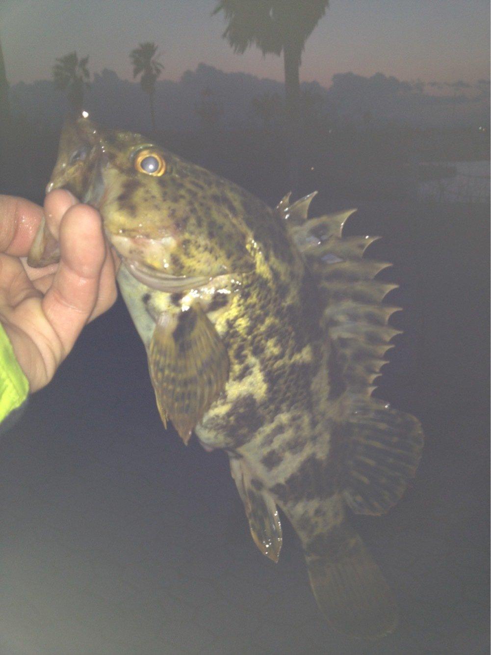 てんさんの投稿画像,写っている魚はタケノコメバル