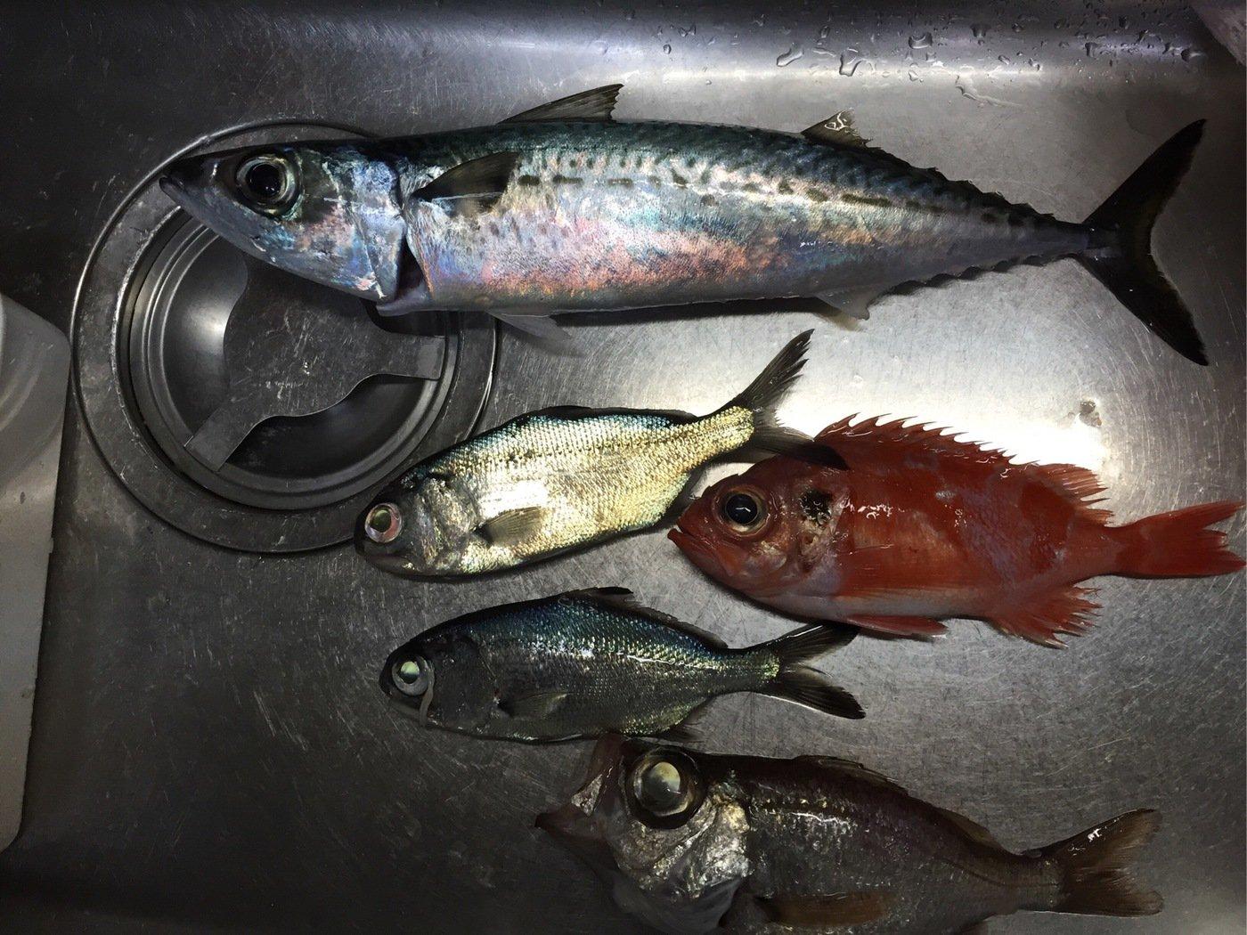 まえださんの投稿画像,写っている魚はゴマサバ
