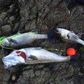 フルフルさんの熊本県上天草市でのスズキの釣果写真