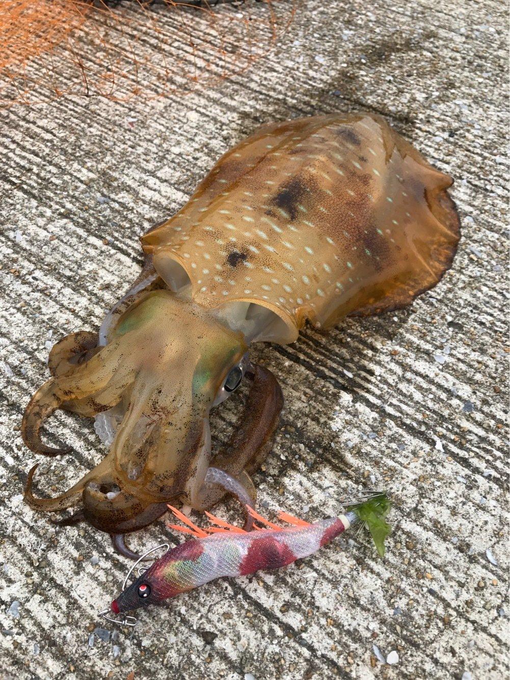 yさんの投稿画像,写っている魚はアオリイカ