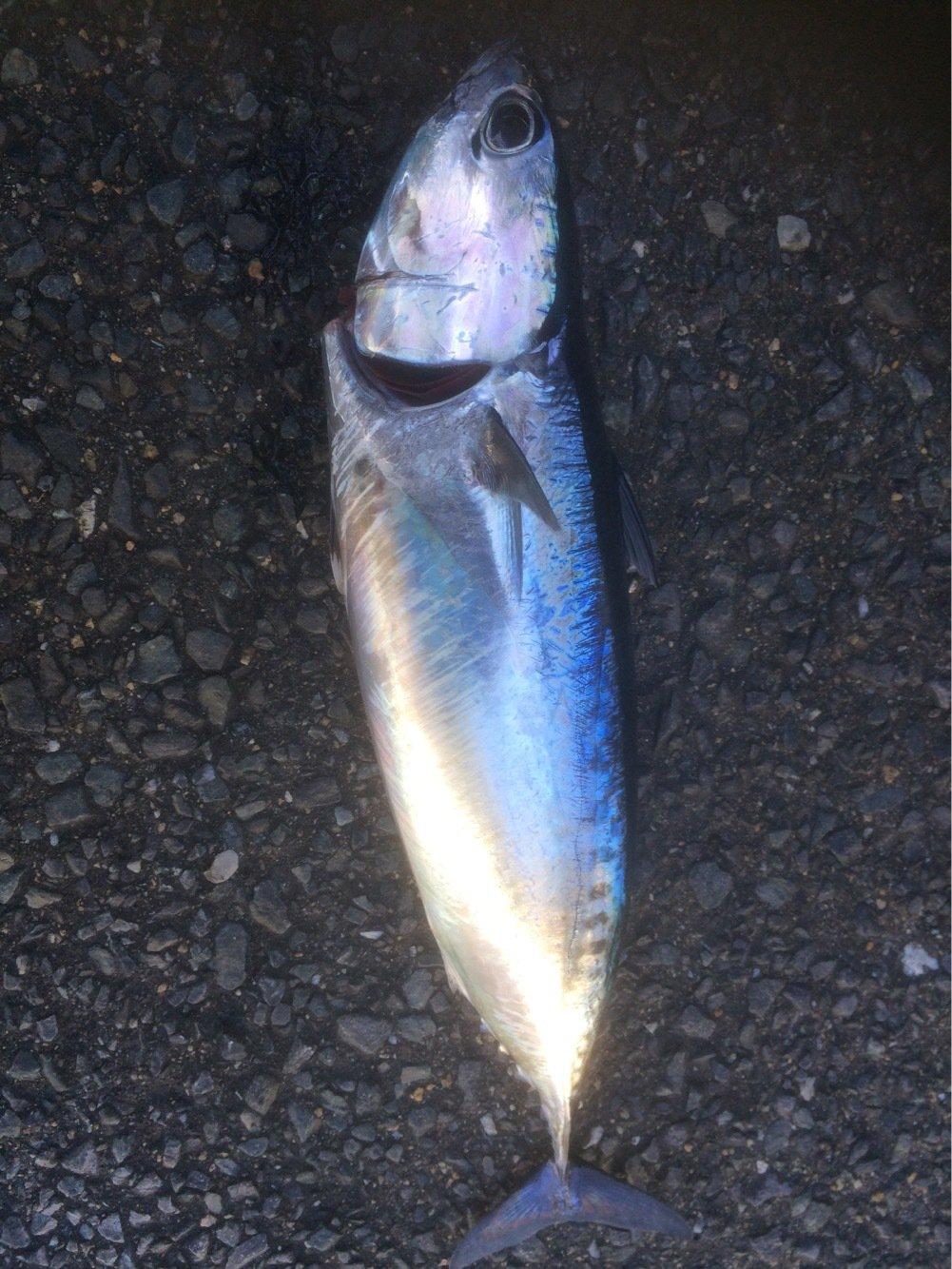 Tbsmanさんの投稿画像,写っている魚はカツオ