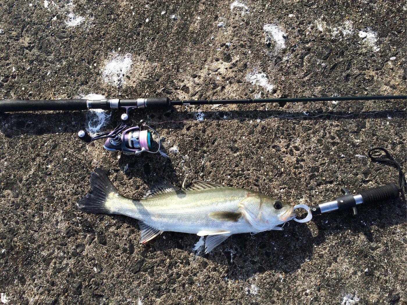 エンドウさんの投稿画像,写っている魚はスズキ