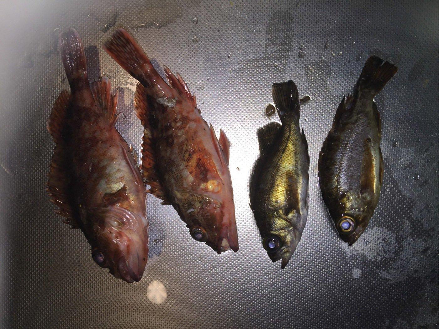 じゅさんの投稿画像,写っている魚は