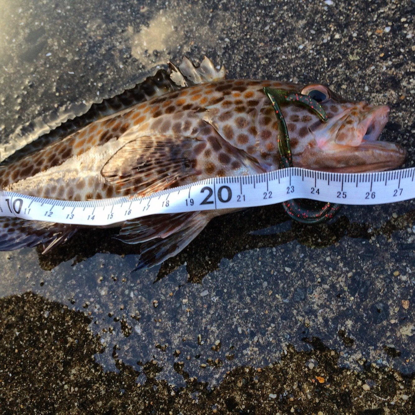 tho.incさんの投稿画像,写っている魚はオオモンハタ