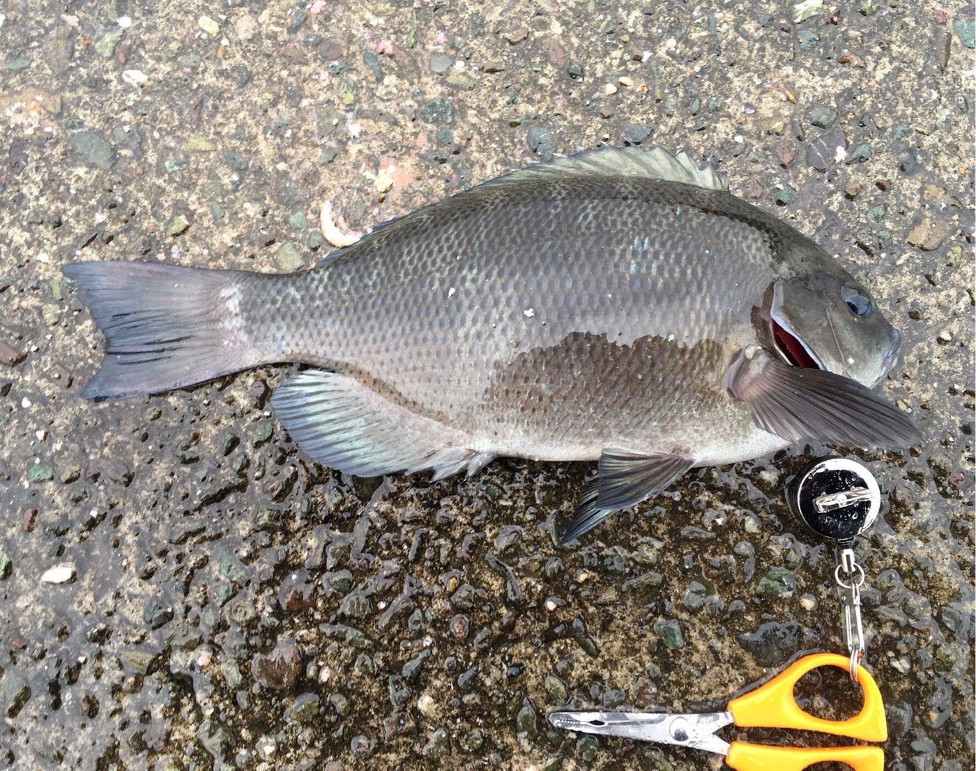 なさんの投稿画像,写っている魚はメジナ