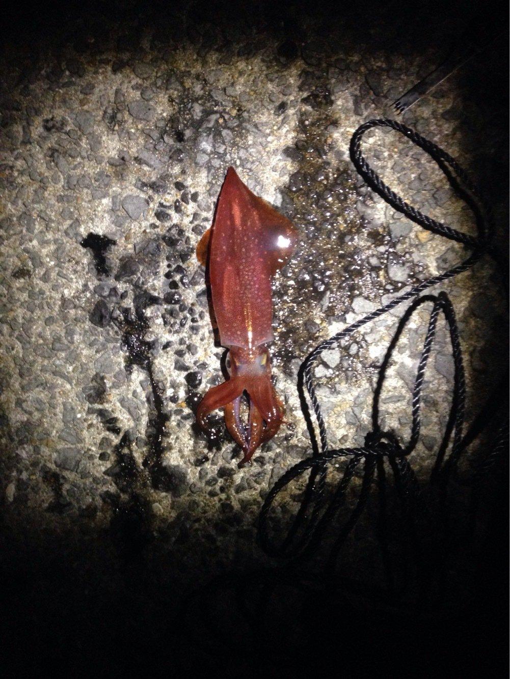 りょうさんの投稿画像,写っている魚はヤリイカ