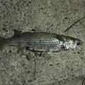 スレ掛かりの貴公子さんの佐賀県三養基郡での釣果写真