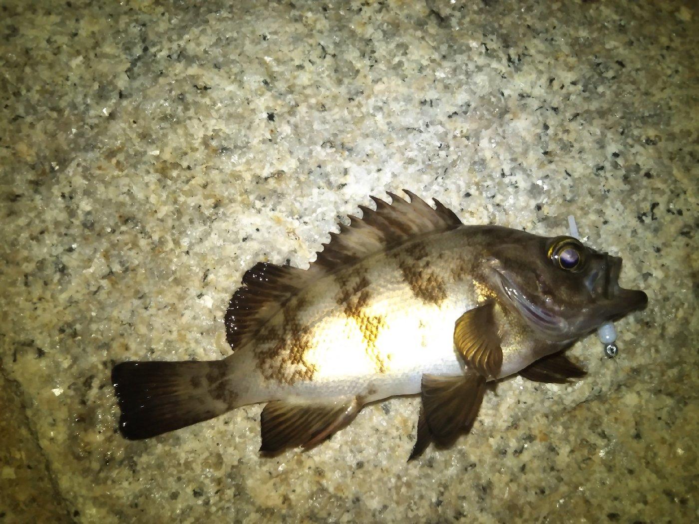 だーおーさんの投稿画像,写っている魚はメバル