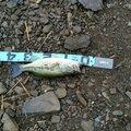ともひろさんの神奈川県高座郡での釣果写真