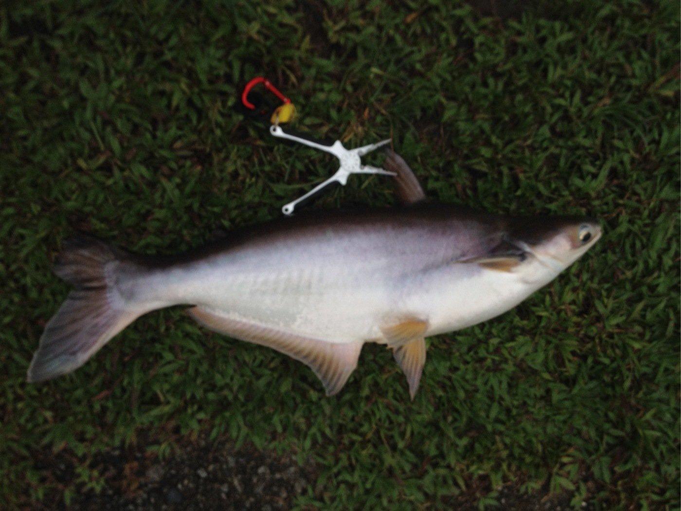HJMMさんの投稿画像,写っている魚はナマズ