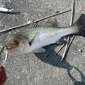 kasuさんの福岡県大川市での釣果写真