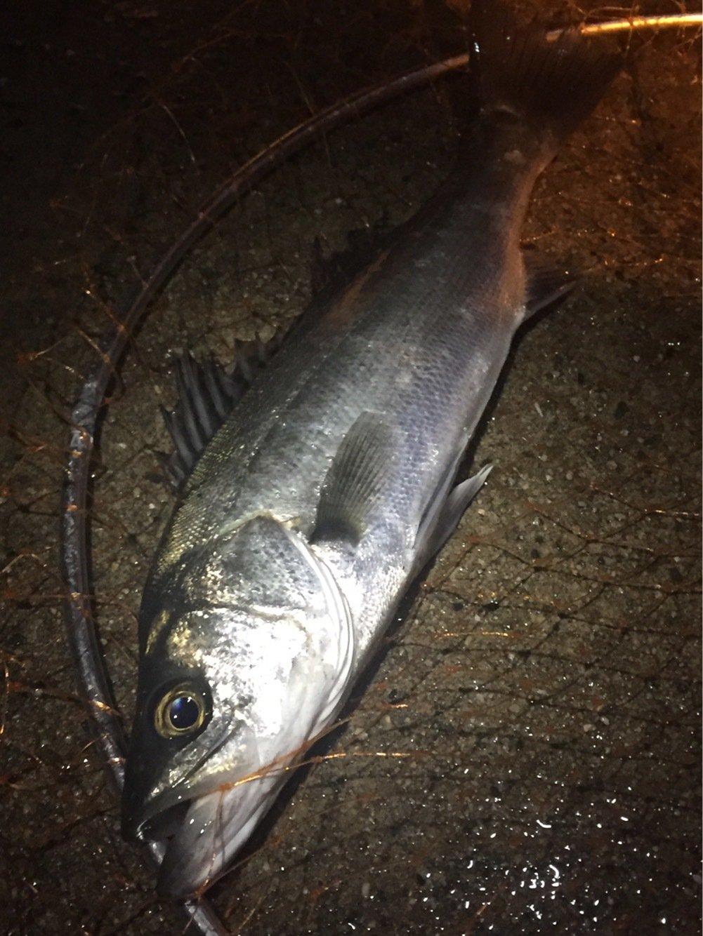ロニーさんの投稿画像,写っている魚はスズキ