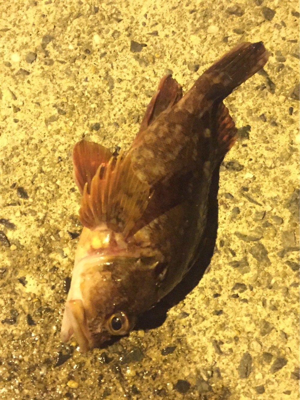 ににょさんの投稿画像,写っている魚はカサゴ