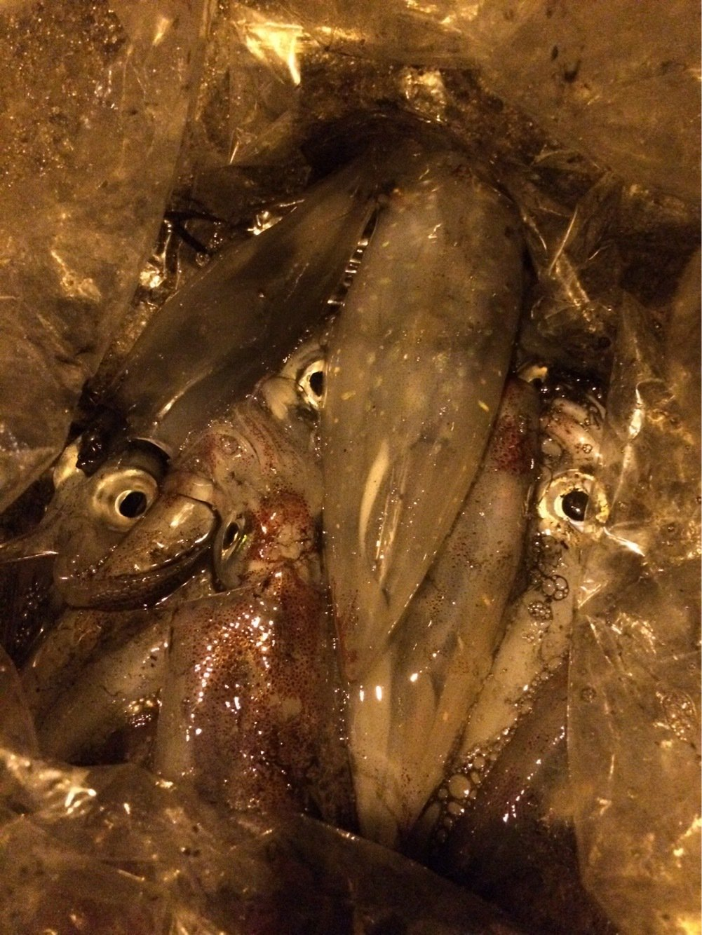 ひろさんの投稿画像,写っている魚はヤリイカ
