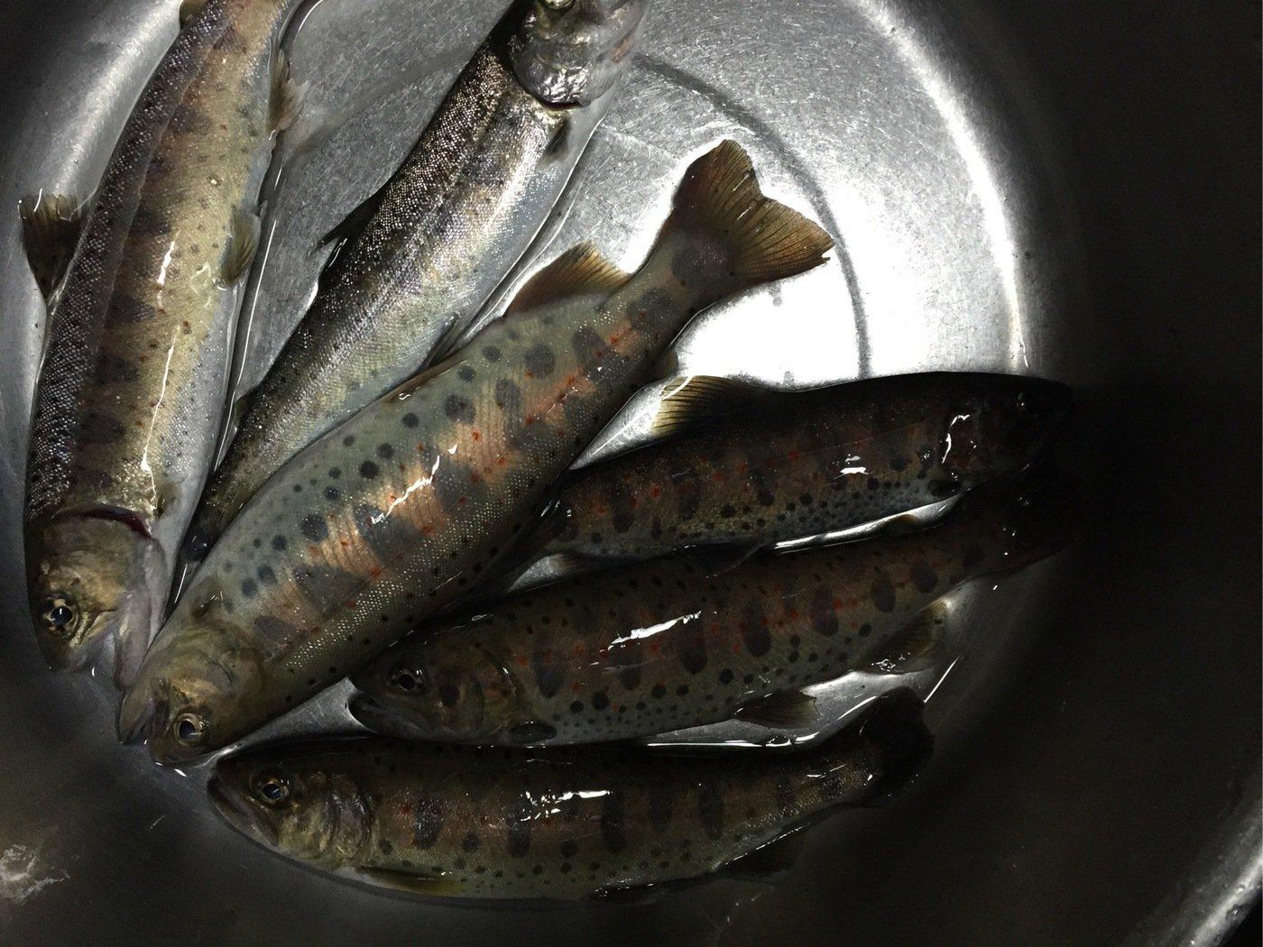 みなとさんの投稿画像,写っている魚はヤマメ