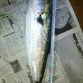 たかさんの新潟県南蒲原郡での釣果写真