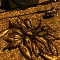カズピトさんの兵庫県芦屋市でのメバルの釣果写真