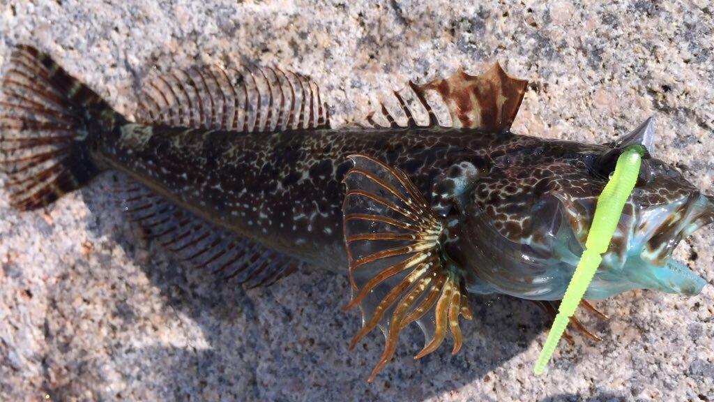はっしーさんの投稿画像,写っている魚はアナハゼ