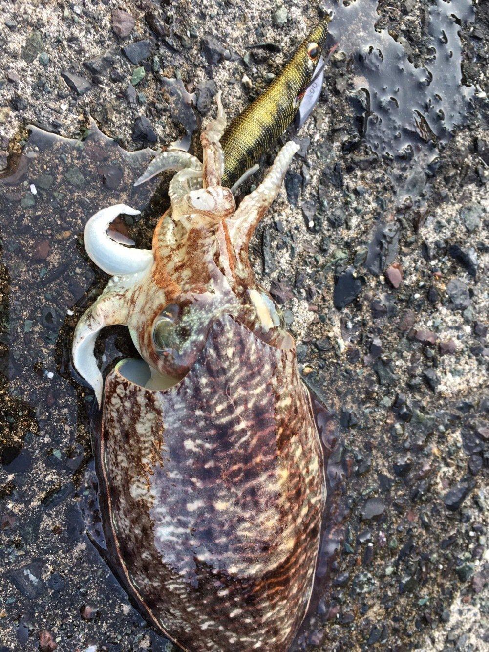 神戸市ハンター協会さんの投稿画像,写っている魚はコウイカ