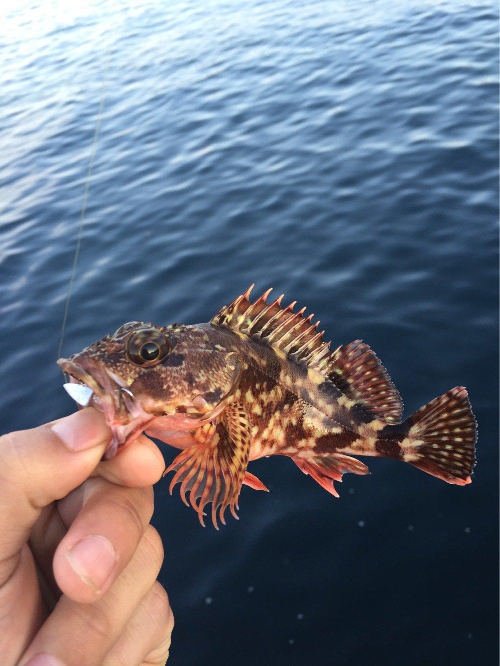 らたちゃんさんの投稿画像,写っている魚はアカカサゴ