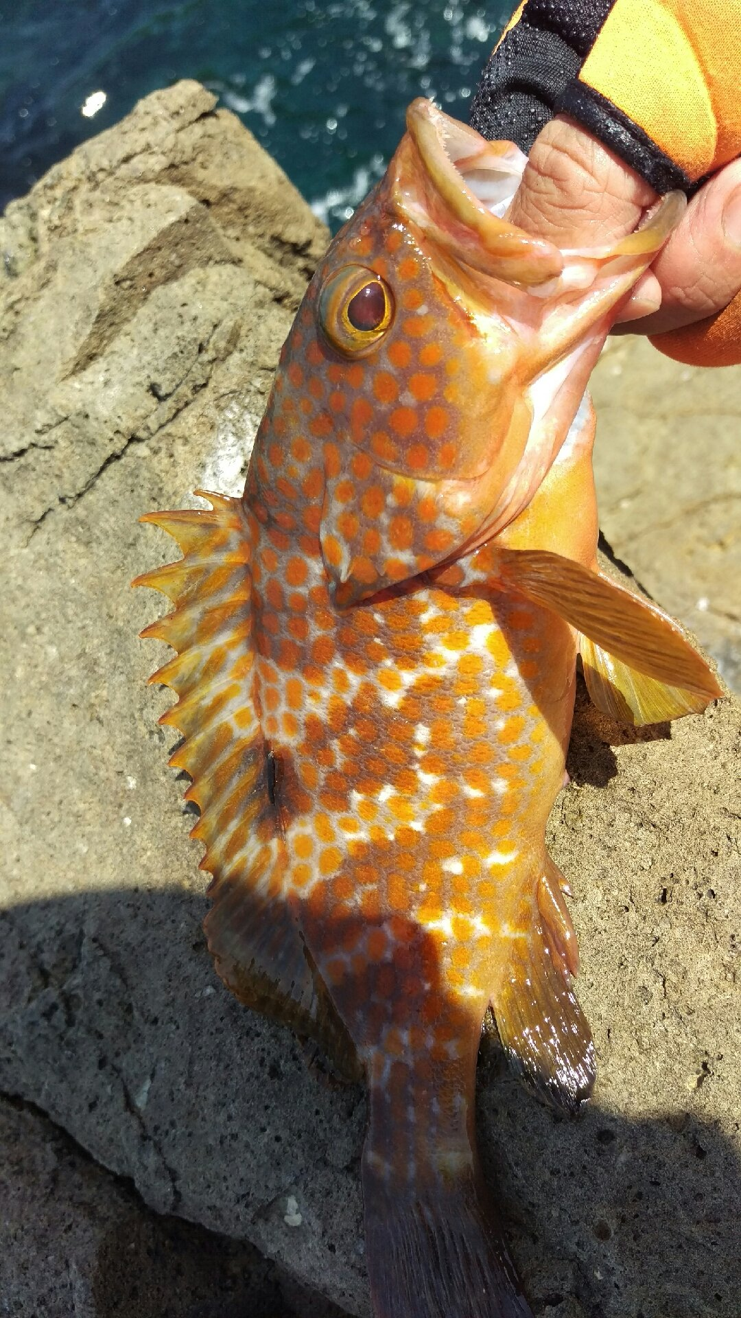 kjunさんの投稿画像,写っている魚はキジハタ