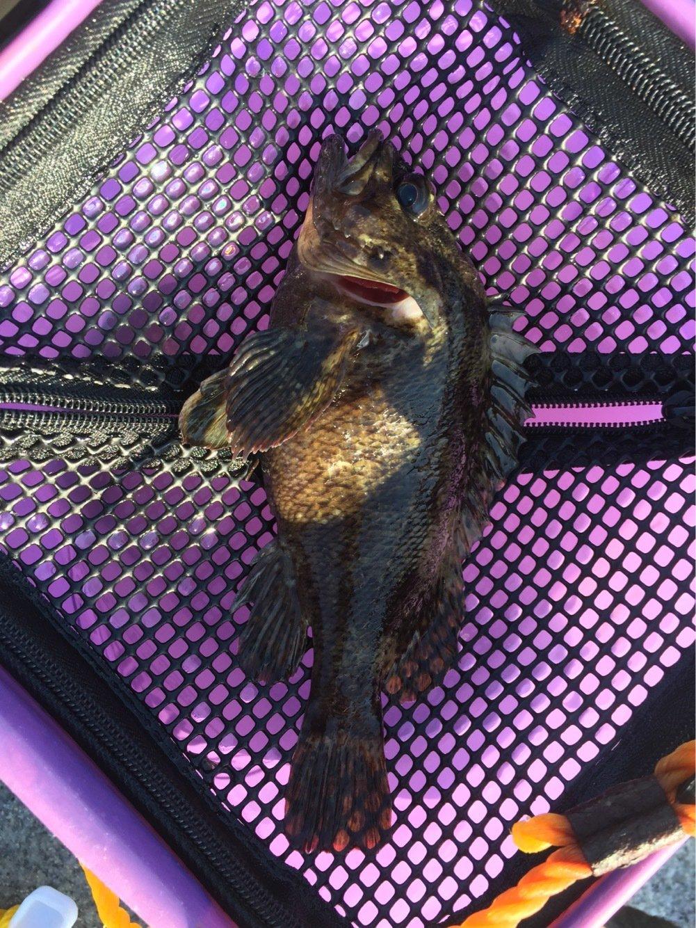 Hutさんの投稿画像,写っている魚はクロソイ