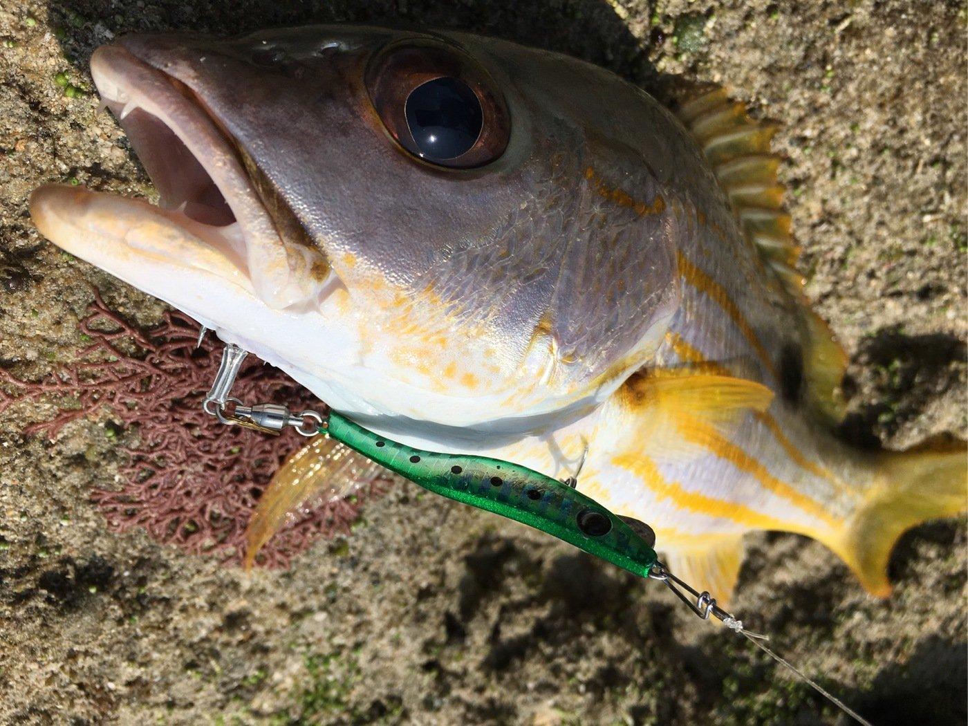 kuroさんの投稿画像,写っている魚は