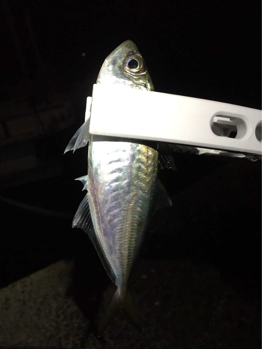 カズワタベさんの投稿画像,写っている魚はアジ