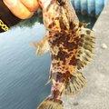 鳴神(なるかみ)さんの三重県津市でのタケノコメバルの釣果写真