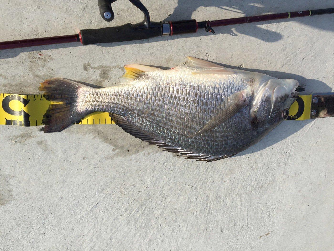 しろやんさんの投稿画像,写っている魚はキチヌ