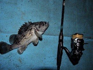 たけちゃんさんの投稿画像,写っている魚はクロソイ