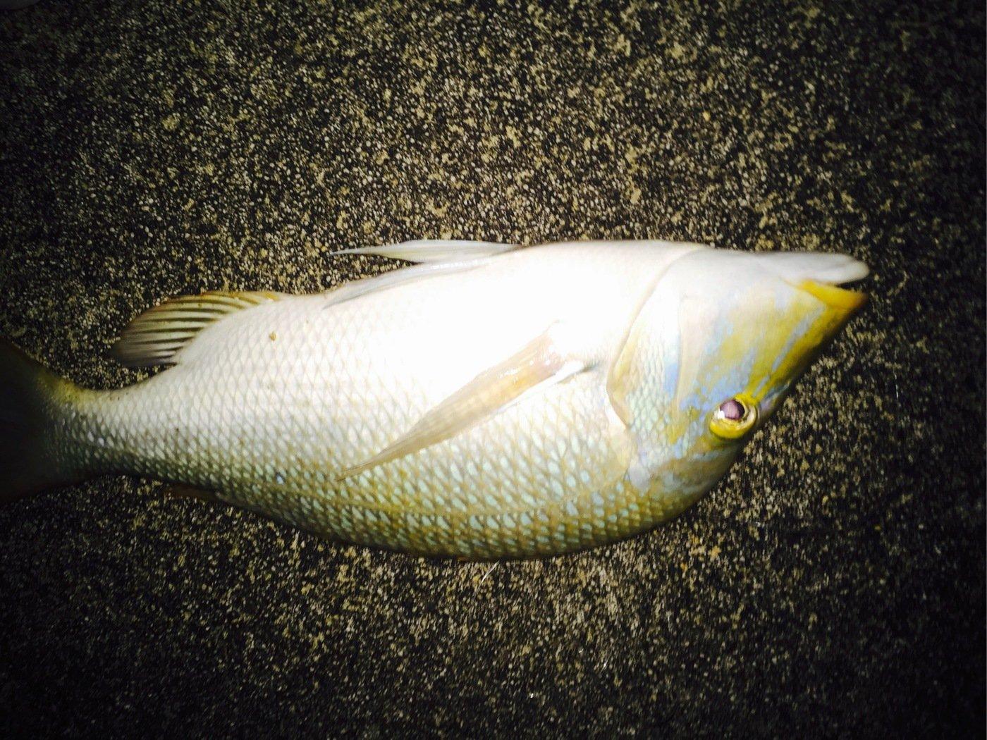 たつきさんの投稿画像,写っている魚はハマフエフキダイ