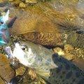 のぶさんの新潟県三条市でのヤマメの釣果写真