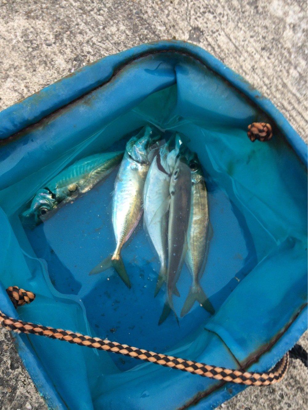 K.Iさんの投稿画像,写っている魚はアジ