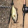 やっさんさんの茨城県稲敷郡での釣果写真