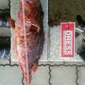 トモチLOWさんの鹿児島県出水郡でのカサゴの釣果写真