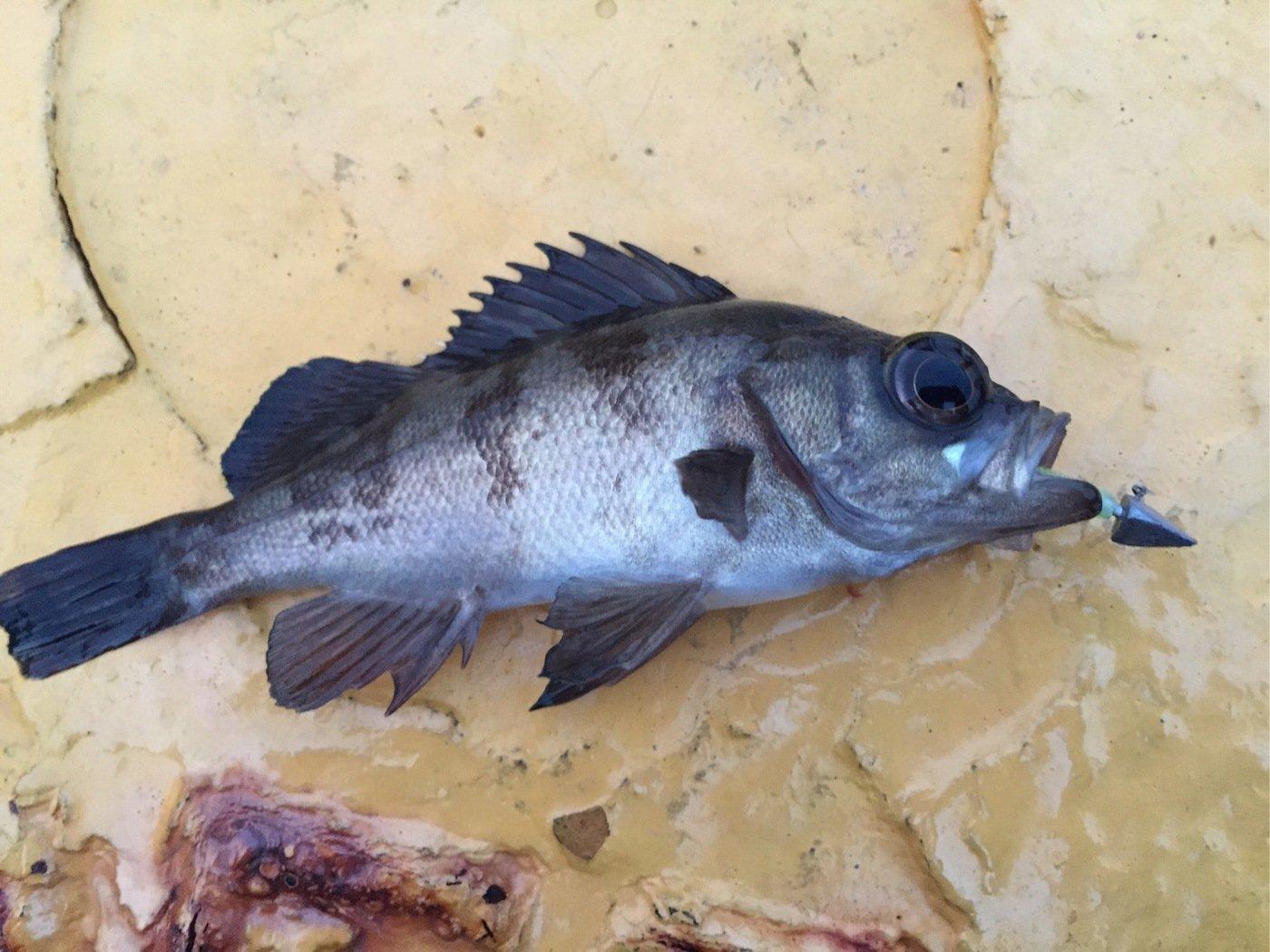 はっしーさんの投稿画像,写っている魚はクロメバル