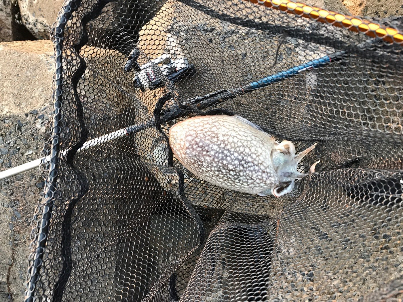 リックさんの投稿画像,写っている魚はシリヤケイカ