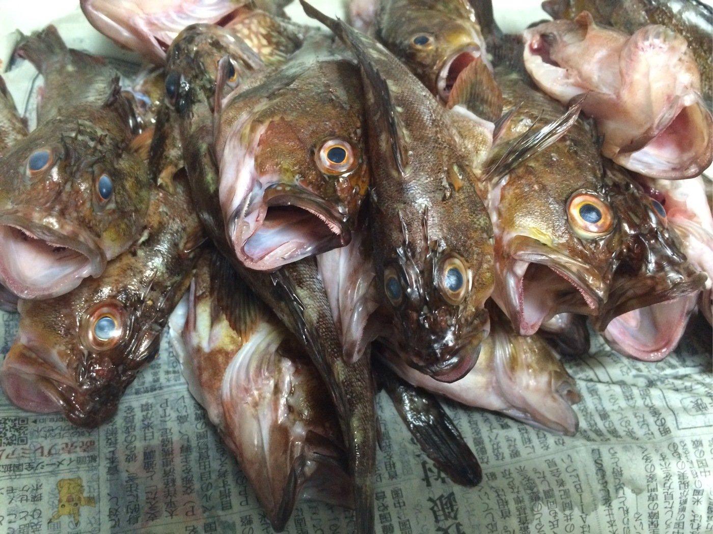 ohhataさんの投稿画像,写っている魚はカサゴ