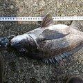 そうたさんの新潟県佐渡市でのクロダイの釣果写真