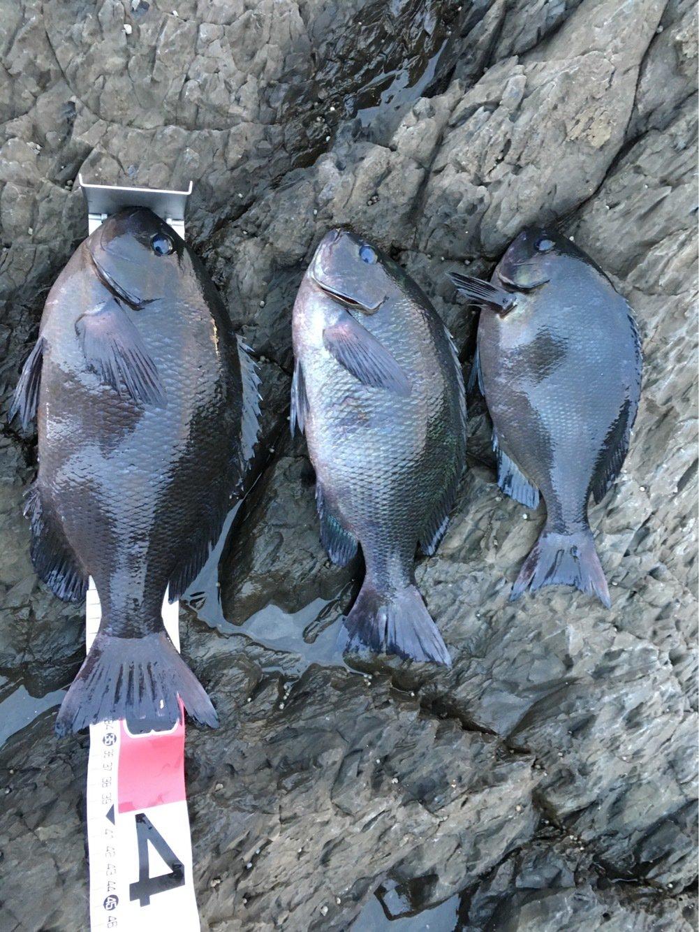 まさやんさんの投稿画像,写っている魚はクロメジナ