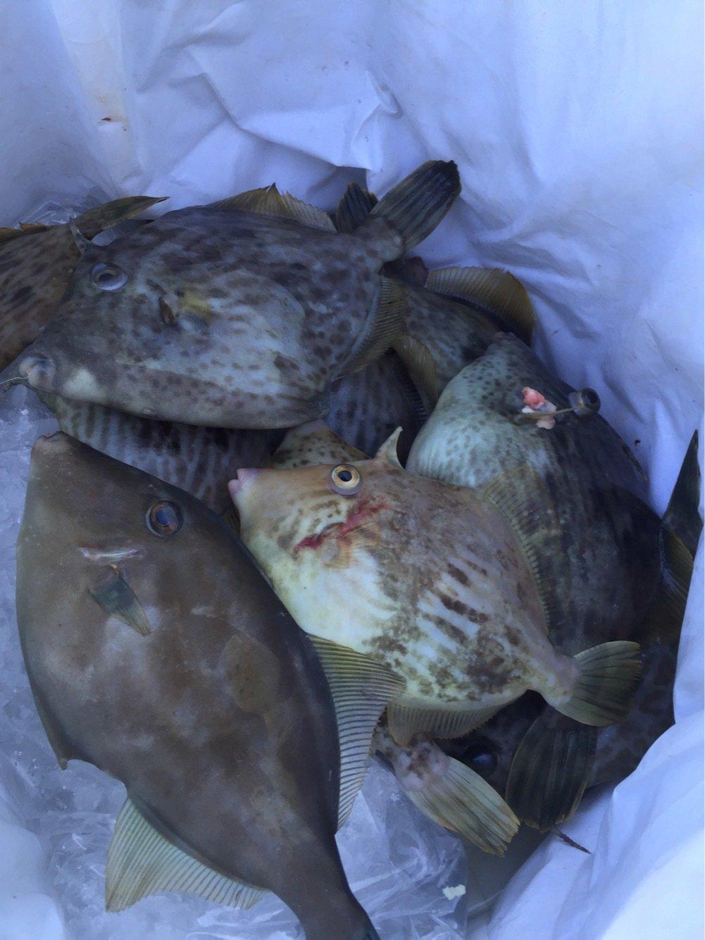 fish hunter 8号さんの投稿画像,写っている魚はカワハギ