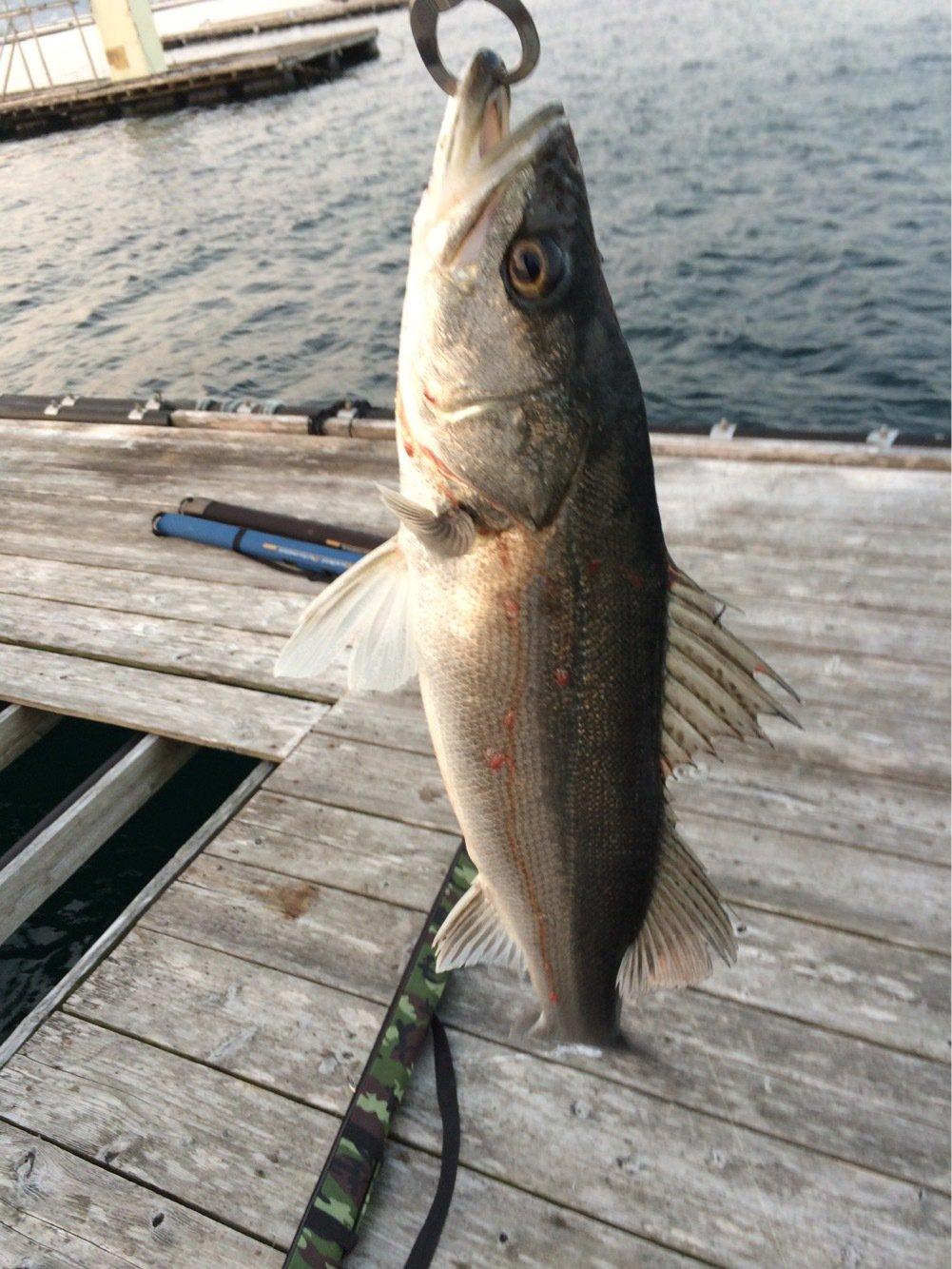 abendrotさんの投稿画像,写っている魚はスズキ