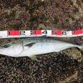 hikkaさんの北海道奥尻郡での釣果写真