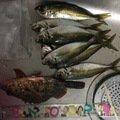 よりるんさんの山口県光市でのカサゴの釣果写真